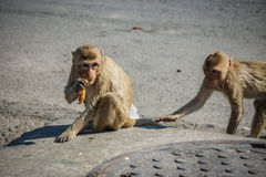 The monkeys on the streets eat food Stock Image