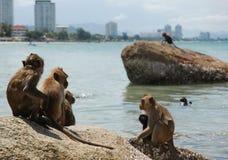 Monkeys Sunbathing on a Rock stock image