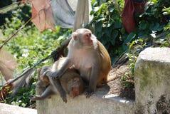 Monkeys in Swayambhunath, Nepal. 2 monkeys in Swayambhunath temple in Nepal Royalty Free Stock Photo