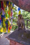 Monkeys at Swayambhunath stupa. royalty free stock photography