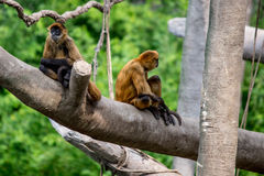 Monkeys, swinging primates Royalty Free Stock Photo