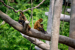 Monkeys, swinging primates Stock Photos