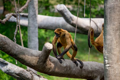 Monkeys, swinging primates Royalty Free Stock Photos