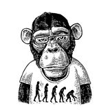 Monkeys in a T-shirt with the theory of evolution on the contrary. From man to monkey. Vintage black engraving illustration for poster. Isolated on white Royalty Free Stock Photo