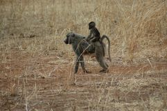 Monkeys take a walk. Two Monkeys in Tanzania Royalty Free Stock Photos
