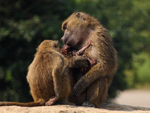 Monkeys Royalty Free Stock Image
