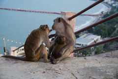 Monkeys are taking care of each other Stock Image