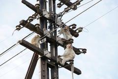 Monkeys on a Telephone Pole. Macaque monkeys sitting on a telephone pole with one chewing on a wire Royalty Free Stock Image