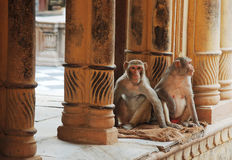 Monkeys in temple. Monkey temple india jinks macaques royalty free stock images