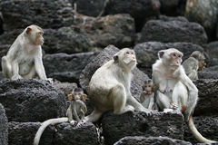 Monkeys on the temple. Many monkeys in a historical place in Thailand Royalty Free Stock Images