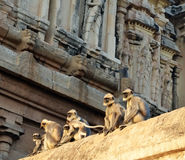 Monkeys. On the temple in India, Goa Royalty Free Stock Photo