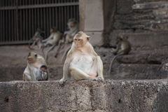 Monkeys at a Thai Temple. Monkeys hanging around an ancient temple in Lop Buri, Thailand Stock Images