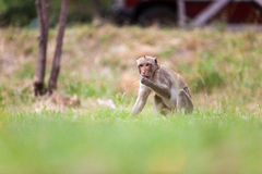 Monkeys of Thailand Stock Photo