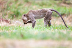 Monkeys of Thailand stock photography