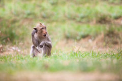 Monkeys of Thailand Stock Photography