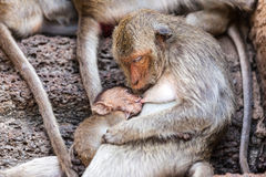 Monkeys of Thailand stock images