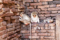 Monkeys of Thailand royalty free stock images