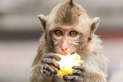 Monkeys of Thailand royalty free stock photography