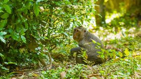Monkeys in their natural habitat. Cambodia Royalty Free Stock Photography