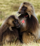 Monkeys - theropithecus. Monkeys Gelada, cercopithecidae family, the only representative of the type of Theropithecus. It occurs in the mountains of Ethiopia and Stock Image