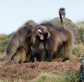 Monkeys - theropithecus. Monkeys Gelada, cercopithecidae family, the only representative of the type of Theropithecus. It occurs in the mountains of Ethiopia and Royalty Free Stock Photos