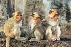 Monkeys. Three monkeys sitting on a wall Royalty Free Stock Photography