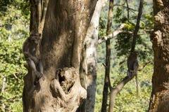 Monkeys in tree Royalty Free Stock Photos