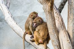 Monkeys on tree Royalty Free Stock Photo