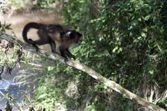 Monkeys in tropical forest in Iguazú National Park Stock Photography