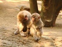 Monkeys. Two monkeys in exchange feelings with each other Royalty Free Stock Photo