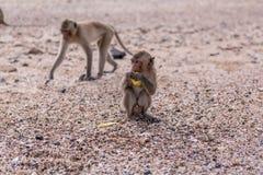 Monkeys. Two monkeys on the monkeys island in Thailand Royalty Free Stock Image