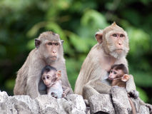Monkeys. Two monkey family on bamboo Stock Photography