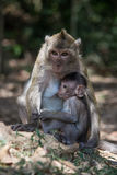 Rhesus monkey at Angkor Wat in Cambodia. Royalty Free Stock Images
