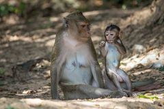 Rhesus monkey at Angkor Wat in Cambodia Stock Image