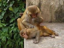 Monkeys. Two monkeys playing in the park in Kathmandu Stock Photo
