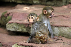Monkeys Stock Image