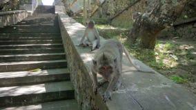 Monkeys in uluwatu temple, bali stock video