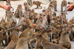 monkeys waiting for food. Stock Images