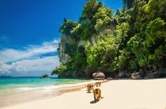 Monkeys waiting for food in Monkey Beach, Thailand Stock Images