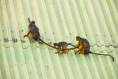 Monkeys walking on a roof Royalty Free Stock Image