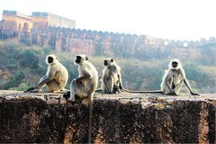 Monkeys on the Wall Royalty Free Stock Photography