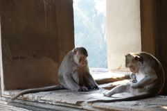 Monkeys wandering around the temples in Angkor Wat Stock Images