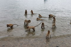 Monkeys in the water collecting food. A group of monkeys in the water collecting food Stock Photo