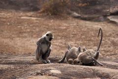Monkeys at waterhole. Three monkeys drinking at a waterhole Royalty Free Stock Photos