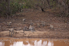 Monkeys at watering hole. Wild monkeys playing on the banks of a muddy watering hole royalty free stock photos