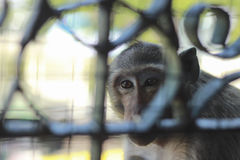Monkeys were caged Royalty Free Stock Photography