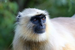 Monkeys in the wild in India Stock Photography