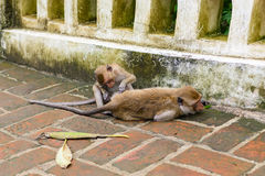 Monkeys (crab eating macaque) grooming one another. Royalty Free Stock Photos