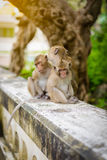Monkeys (crab eating macaque) grooming one another. Royalty Free Stock Images