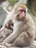 Monkeys. A young snow monkey breastfeeding from it`s mother Stock Photography